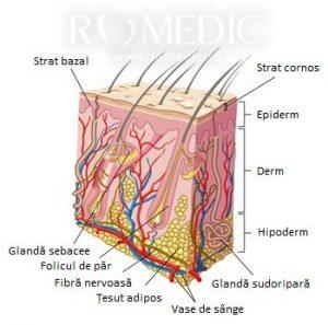Structura scalpului (pielii)